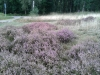 heather-in-Veluwe-20150906